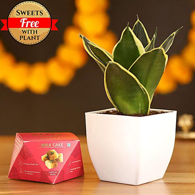 MILT Sansevieria & Milk Cake: Ornamental Plant Gifts