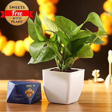 Money Plant With Sweet Peda: Diwali Sweets to Mumbai