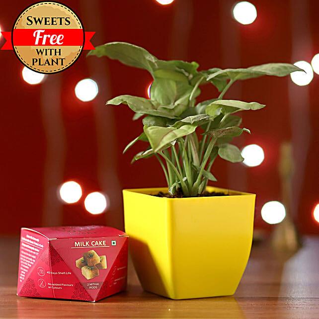 Syngonium Plant & Milk Cake: Diwali Gifts