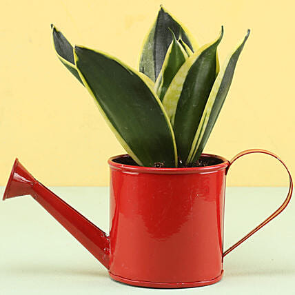 MILT Sansevieria In Watering Can Pot: Gifts for New Arrival