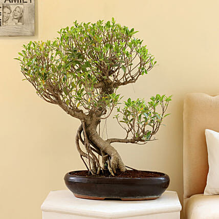 Beautiful Ficus Nuda Bonsai Plant: Bonsai Plants