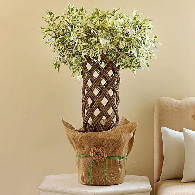 Ficus Crache Starlight Bonsai Plant: Rare Plant Gifts