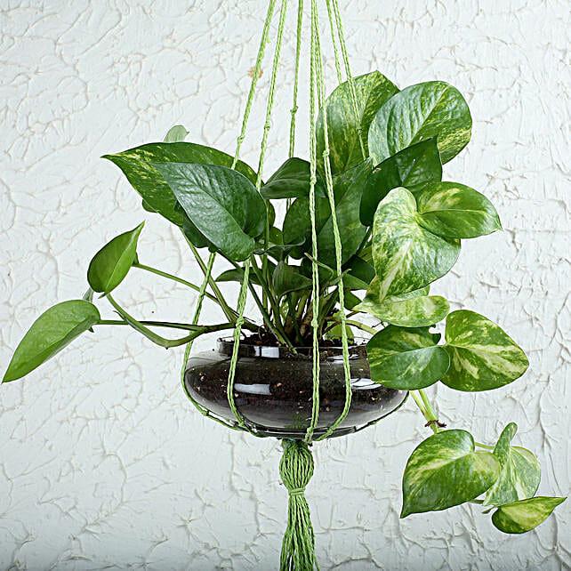 Thriving Money Plant Terrarium: Money Plant