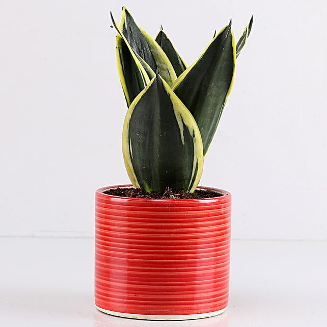 MILT Sansevieria In Red Pipe Pot: