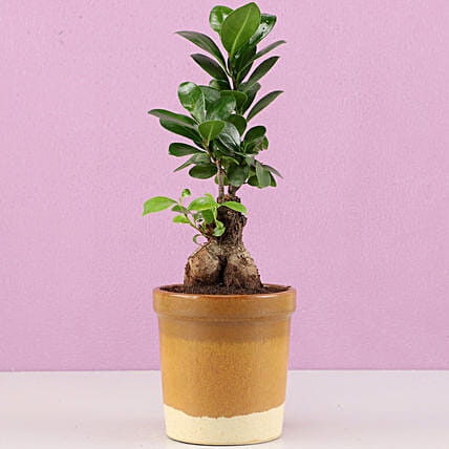 Ficus Bonsai Plant in Haiti Mocha Brown Ceramic Tumbler: Bonsai Plants