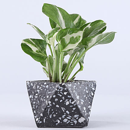 White Pothos In Charcoal Terrazzo Concrete Pot: Money Tree