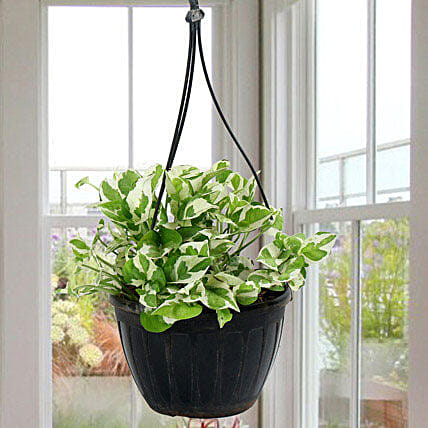 White Pothos Plant: Gifts for Hug Day