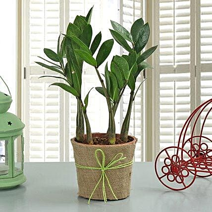 Zamia Plant: Thanksgiving Day Gifts