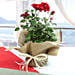 Red rose plant wrapped in natural jute and white raffia