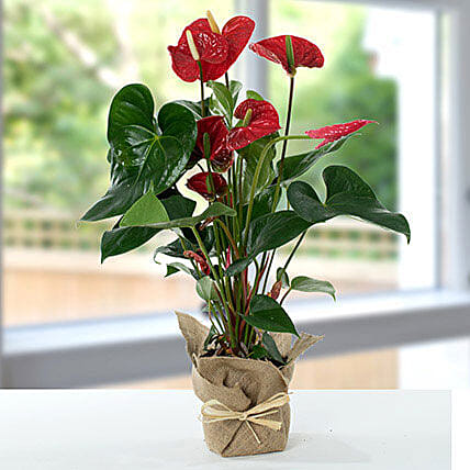 Red Anthurium Jute Wrapped Potted Plant: Flower Delivery Singapore