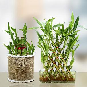 Buy Lucky Bamboo Online UAE
