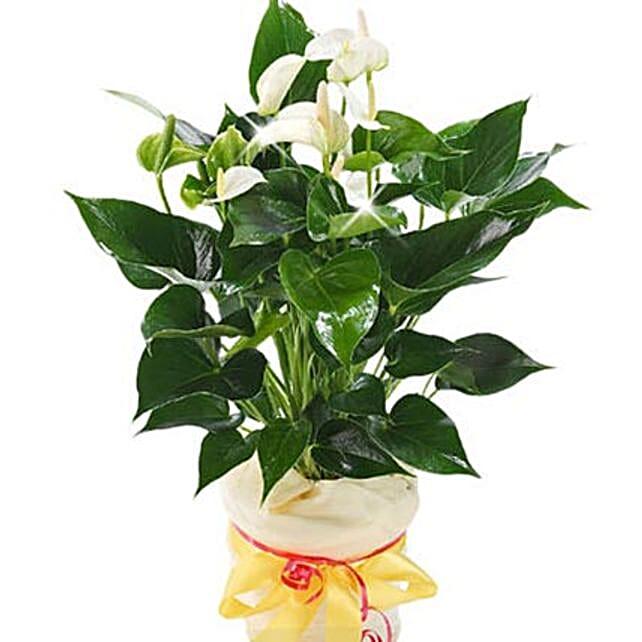 White Anthurium Pot