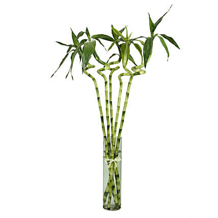 5 Spiral Stick Lucky Bamboo Gift 5 Stalked Spiral Bamboo Sticks In