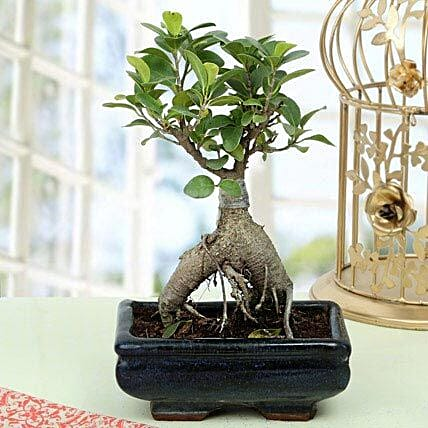 Appealing Ficus Ginseng Bonsai Plant Gift Ficus Ginseng Bonsai Plant With Blue Rectengular