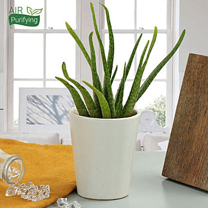 beauty of aloe vera plant gift aloe vera plant in a vase ferns n petals. Black Bedroom Furniture Sets. Home Design Ideas