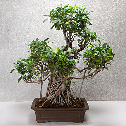 Online Dwarf Tree For Home