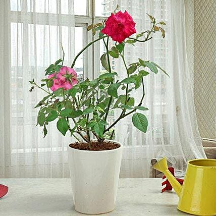 Fragrant Rose Plant