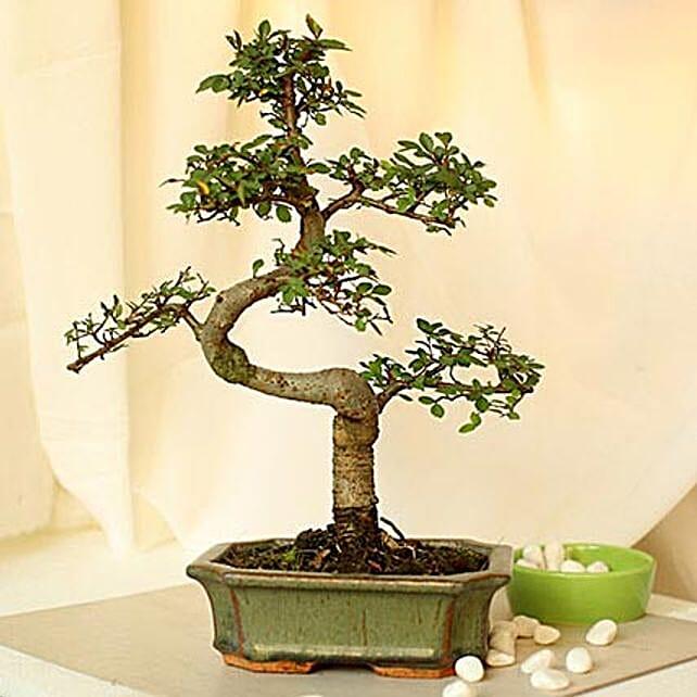 Thoughtful Elm S Shape Bonsai Plant