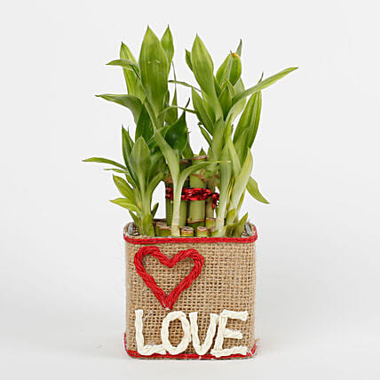 Bamboo Plants Lucky Bamboo Plant Online Ferns N Petals